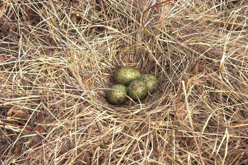 гнездй s curlew стоковая фотография rf