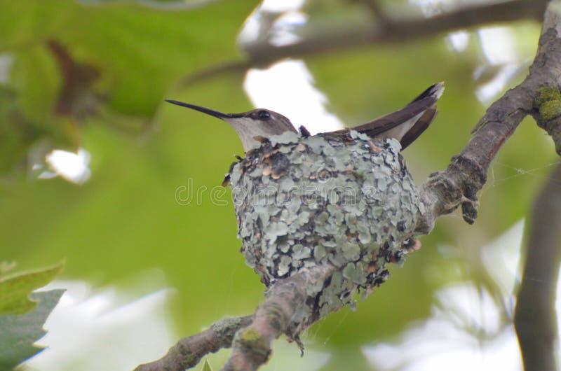 Гнездо колибри стоковая фотография rf