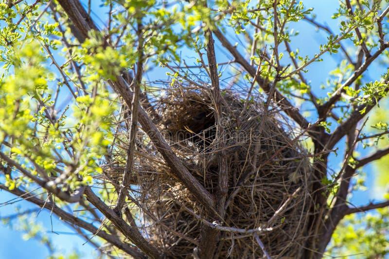 Гнездо крапивниковые кактуса в южной Аризоне стоковое фото
