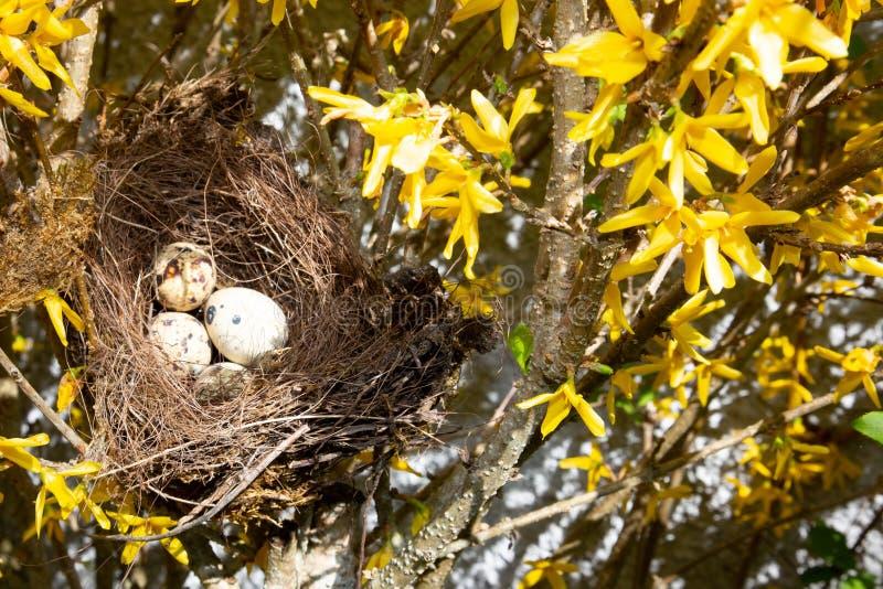Гнездо птицы в ветви дерева с небольшими яйцами стоковые изображения rf