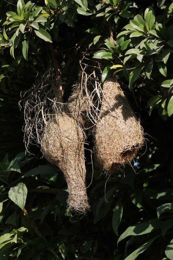 Гнезда Baya стоковое изображение rf