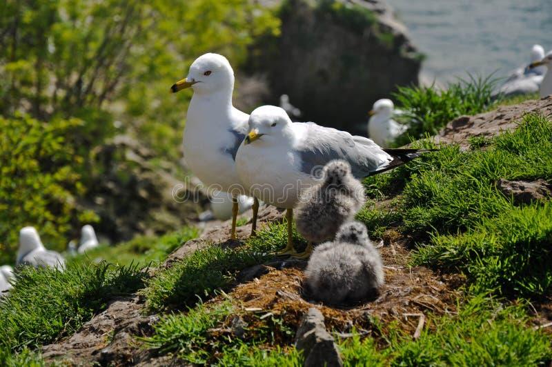 Гнездй и цыпленоки чайки стоковая фотография