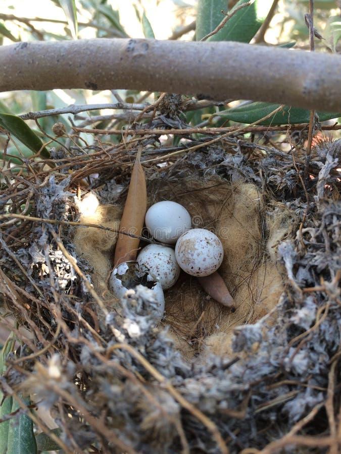 Гнездо воробьев стоковые фотографии rf