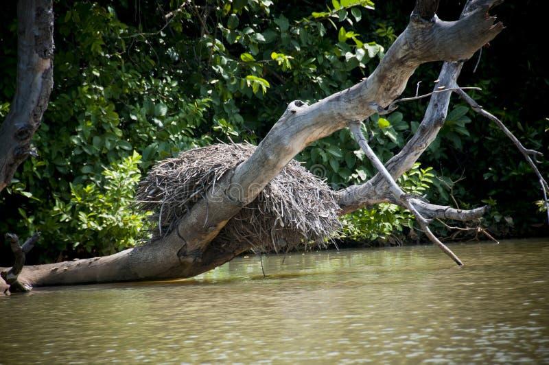 Гнездо в реке Гамбии стоковые изображения
