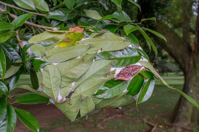 Гнездо муравья ткача стоковые изображения rf