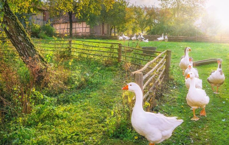 Гоготанье гусынь выходя двор стоковые фото