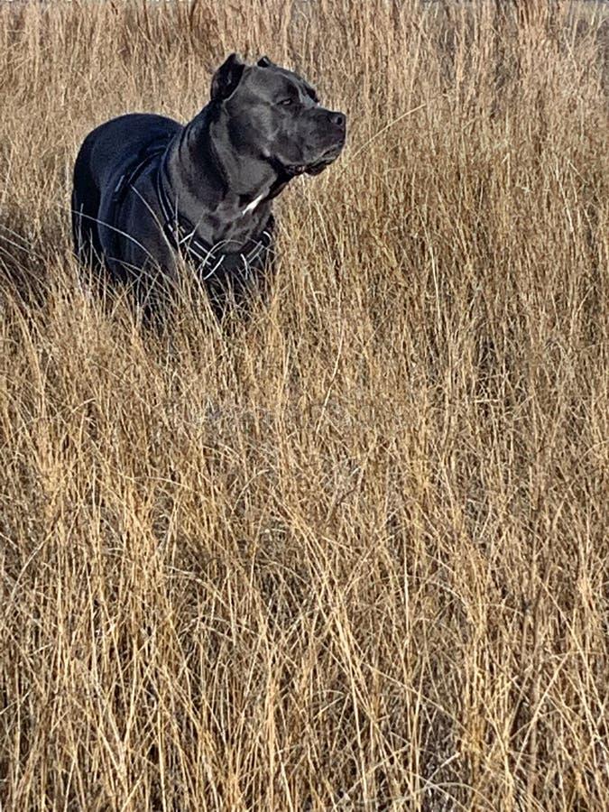 Годовалый mastiff corso тросточки 4 в сухом злаковике стоковые фото