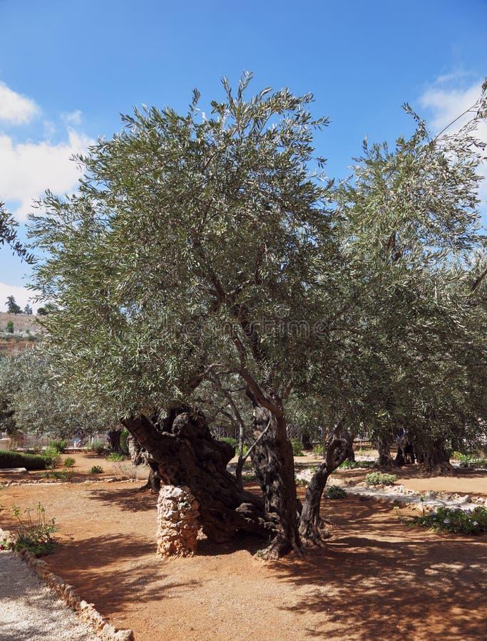 год валов оливки тысячи сада стоковое фото rf