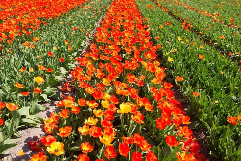 Голландская зона шарика bollenstreek полностью зацветает привлекает сверх 1 миллиона посетителей год стоковое изображение