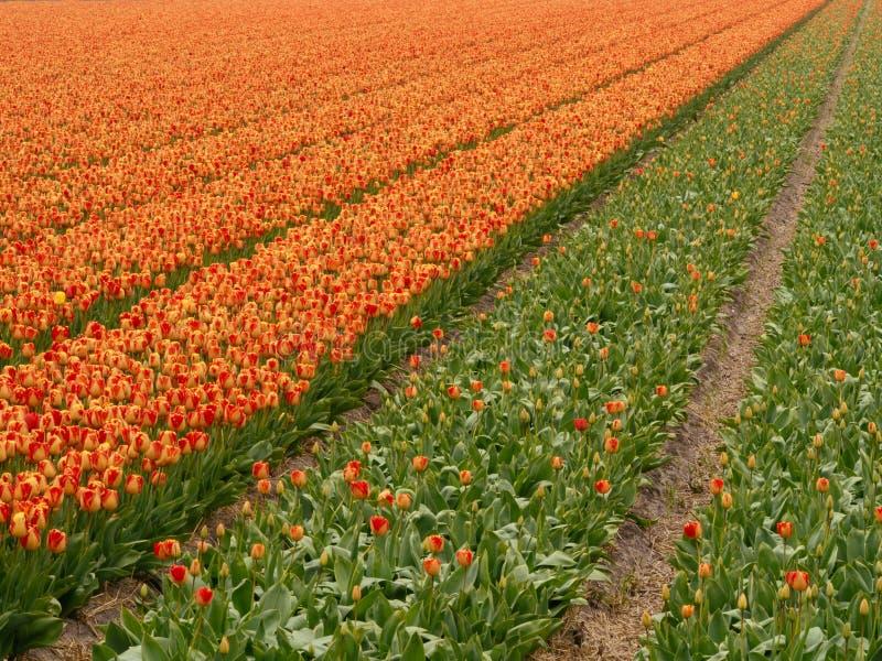 Голландские поля тюльпана Голландии весной Солнця стоковые фотографии rf