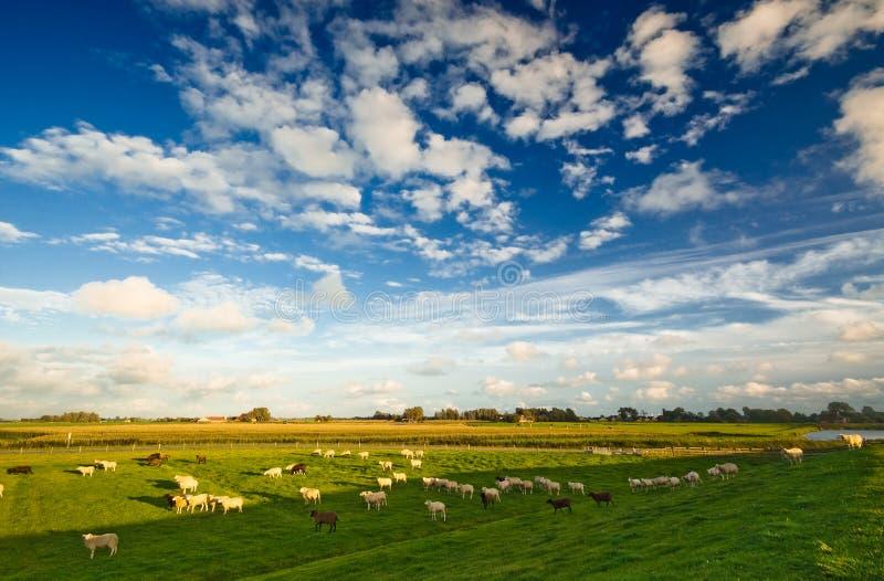 голландский ландшафт сельскохозяйствення угодье стоковые фото