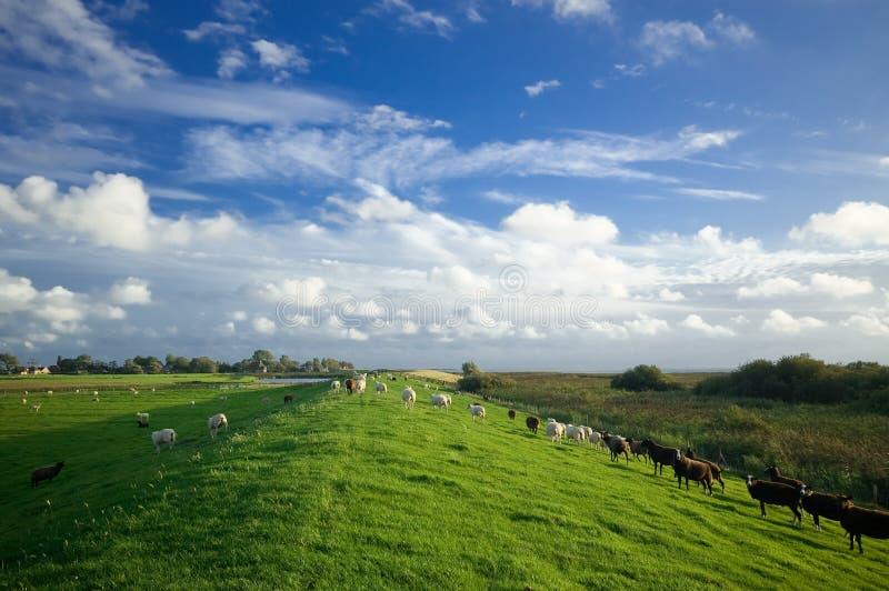 голландский ландшафт сельскохозяйствення угодье стоковые изображения rf