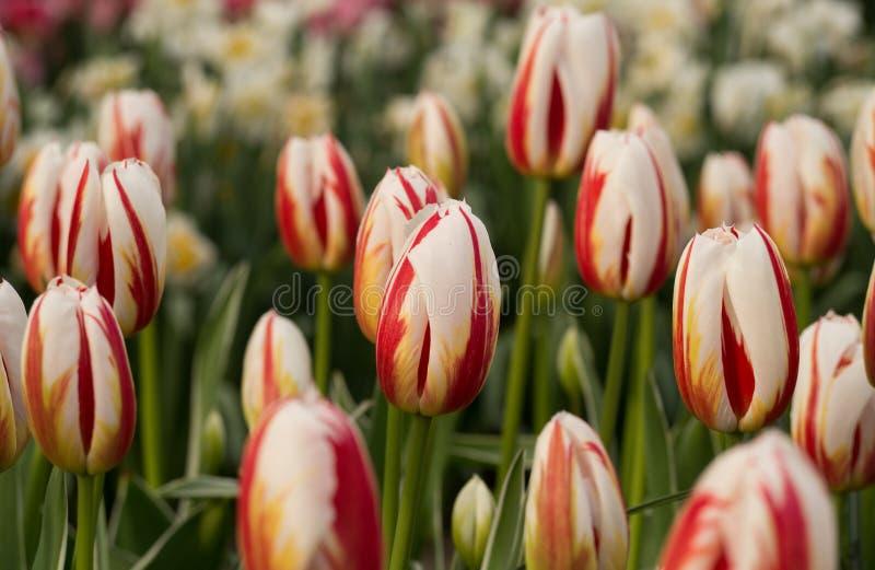 Голландский сад весной Солнце тюльпана стоковая фотография