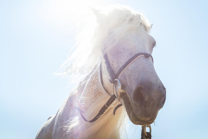 Голова белой лошади и голубое небо с buckground солнца конец вверх стоковые фото