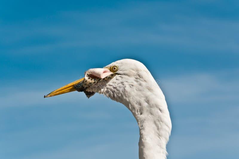 Голова большого egret с кожей рыбы в клюве на станции чистки рыб стоковые фото