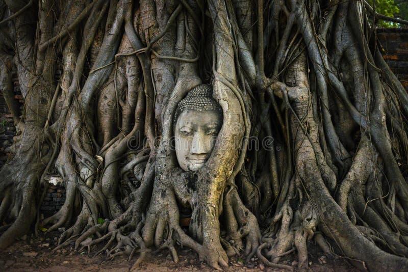 Голова Будды в дереве укореняет стоковое изображение rf