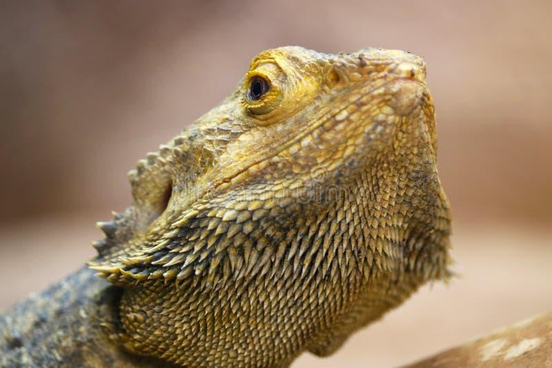Голова желтого центрального или внутреннего бородатого дракона стоковые фотографии rf