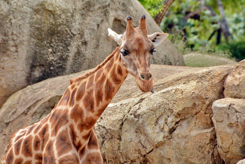 Голова жирафа стоковые фотографии rf