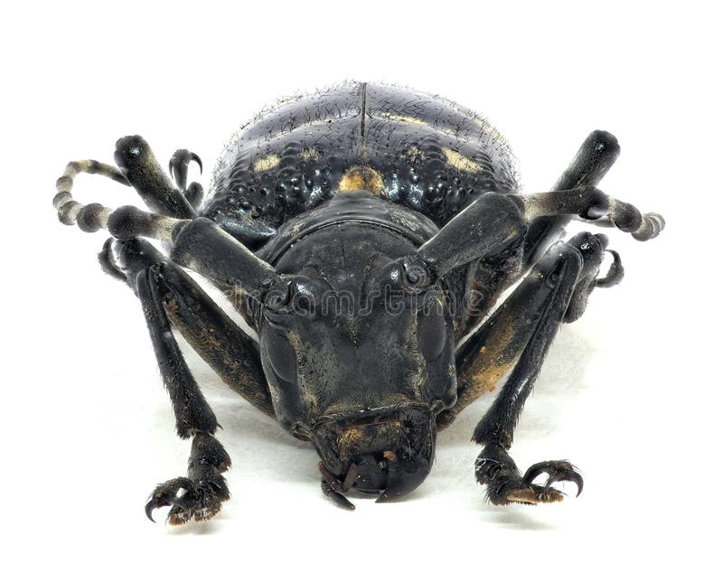 Голова жука взрослого цитруса длинн-horned стоковые изображения rf