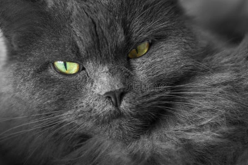 Голова и сторона monochrome кота стоковая фотография rf