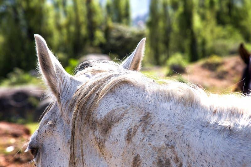 Голова и уши белой лошади стоковая фотография