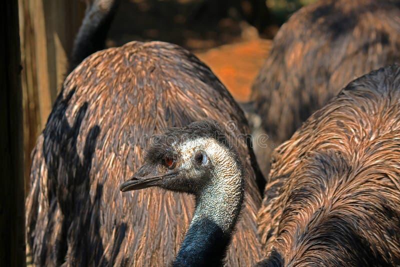 ГОЛОВА И ШЕЯ ПТИЦЫ EMU стоковое изображение