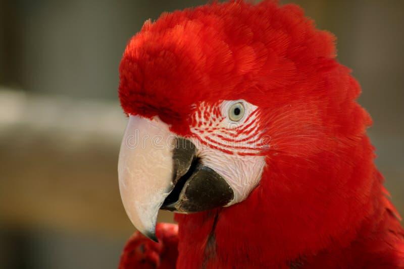 Голова красивого красного цвета цвета ары стоковые изображения