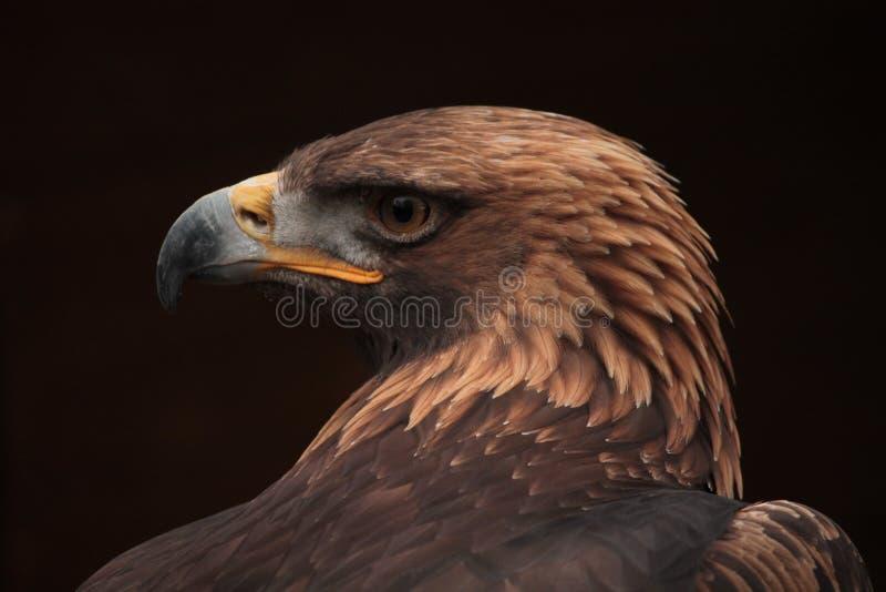 Голова крупного плана профиля смуглого орла стоковая фотография