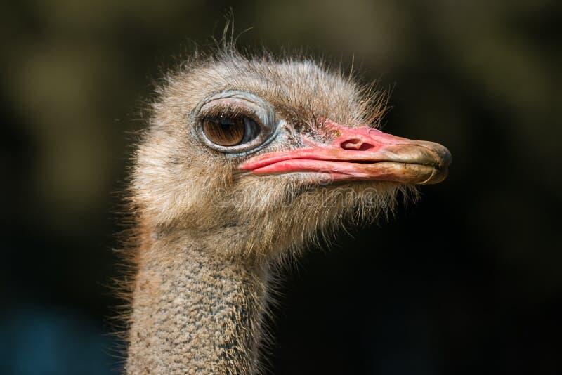 Голова крупного плана страуса снятая против темной предпосылки стоковая фотография rf