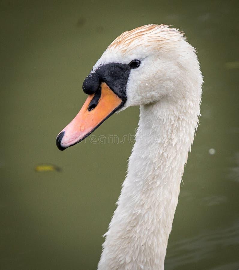 Голова лебедя на канале стоковое изображение