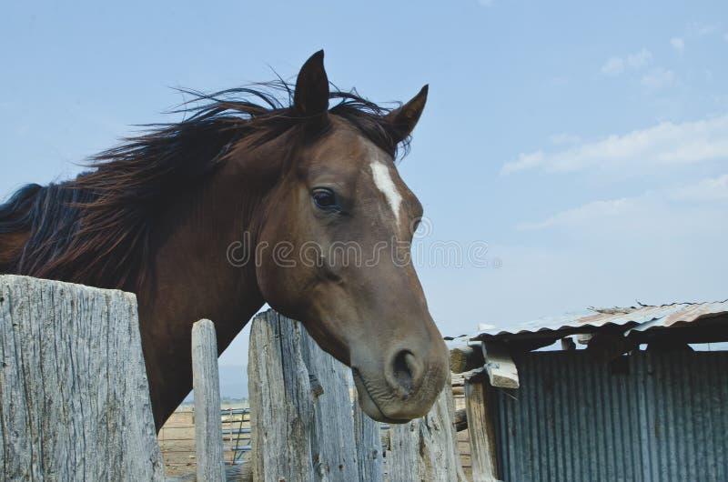 Голова лошади Брайна над верхней частью деревянной загородки стоковые изображения