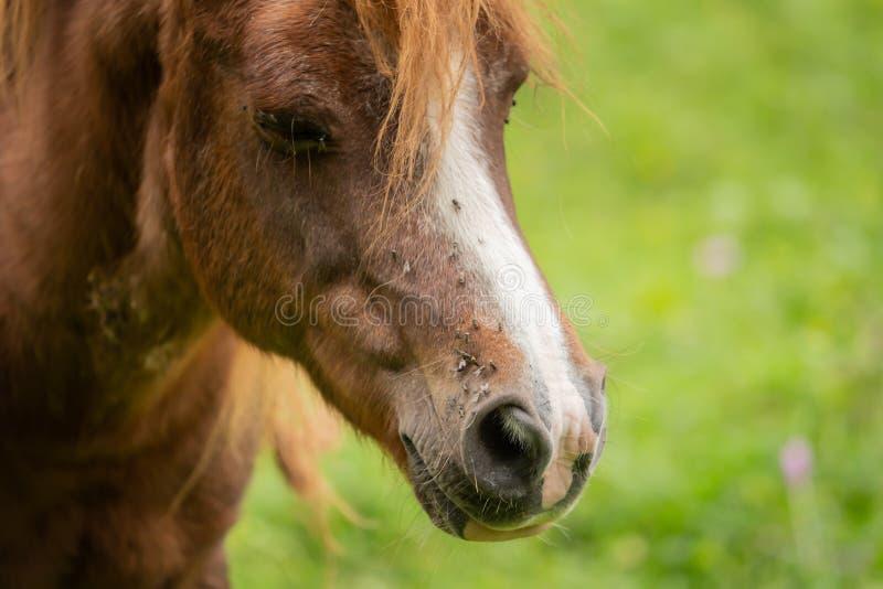 Голова лошади с много летает стоковое фото