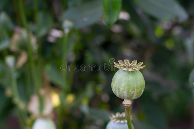 Голова макового семенени растя в сельской местности стоковое изображение