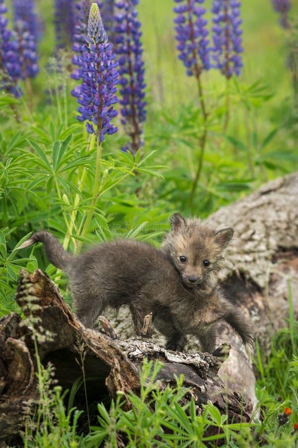 Голова набора лисицы лисицы красного Fox над отпрыском стоковые изображения rf