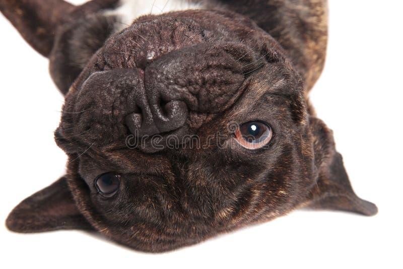 Голова прелестного черного французского бульдога стоковые изображения rf