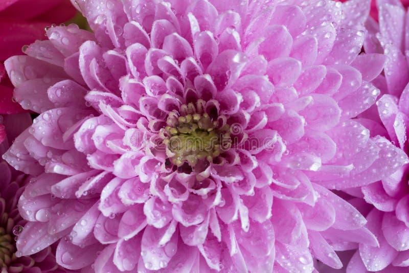 Голова розовой астры цветка с водой падает, фото макроса стоковая фотография