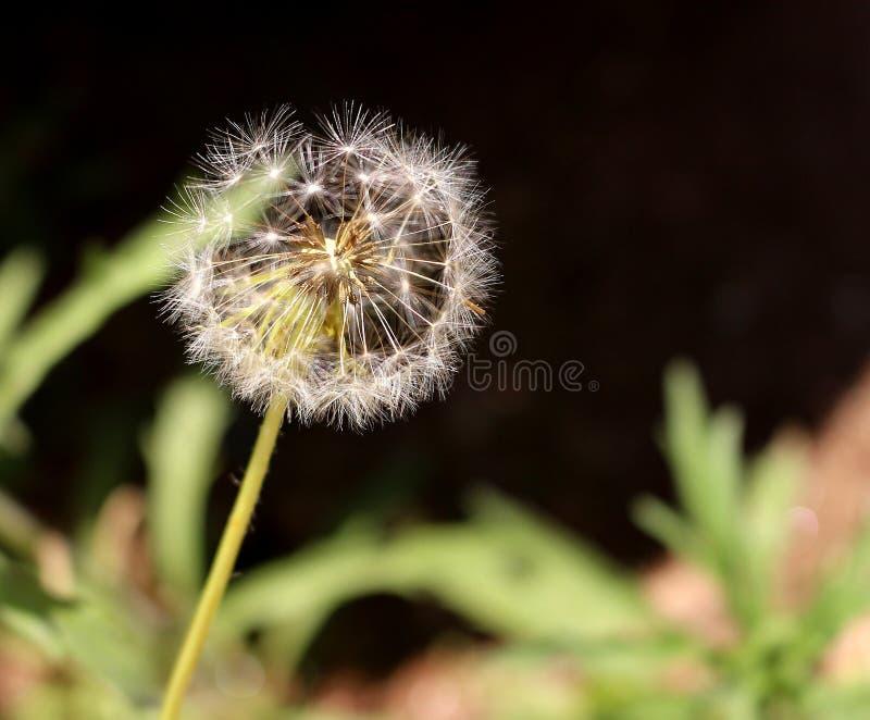 Голова семени одуванчика во всходе макроса стоковое фото