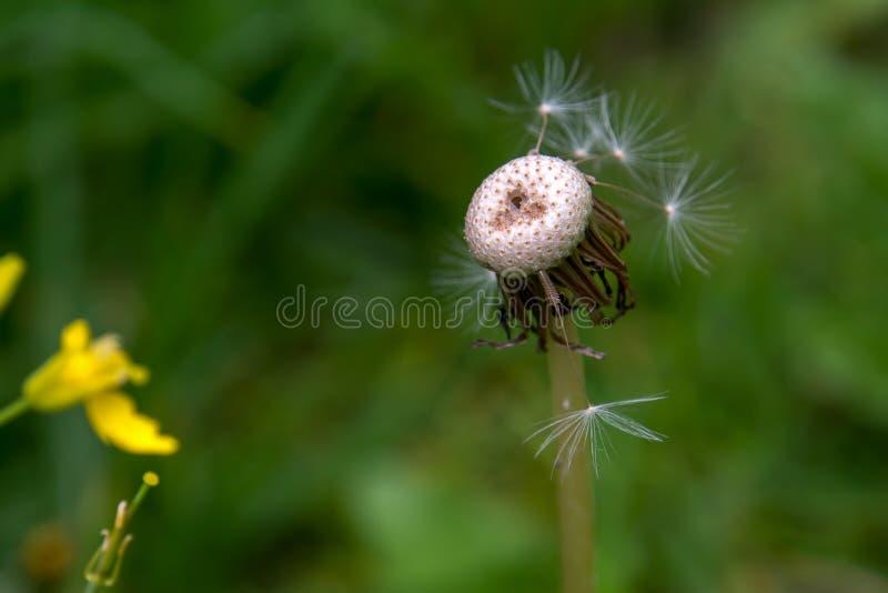 Голова семени одуванчика Deedless в саде стоковое фото rf