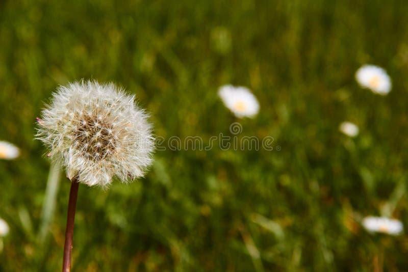 Голова ( семени одуванчика; Taraxacum officinale) в поле готовом для того чтобы лететь стоковые фотографии rf