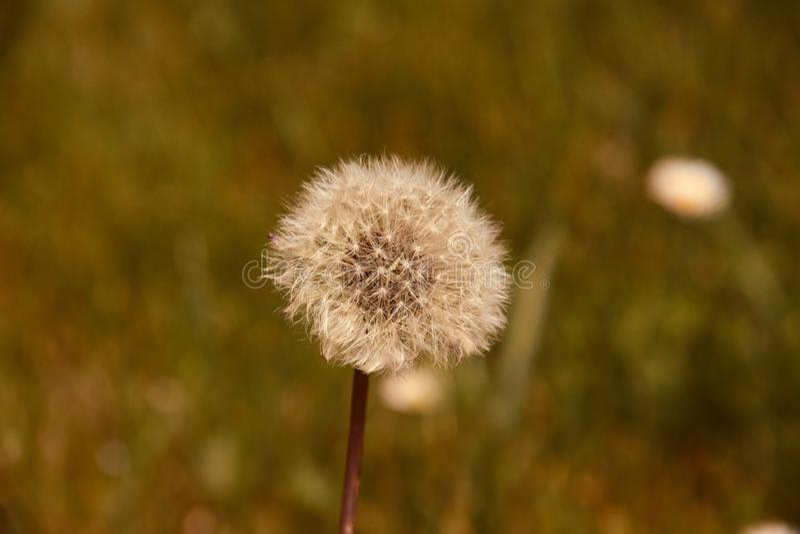 Голова ( семени одуванчика; Taraxacum officinale) в поле готовом для того чтобы лететь стоковые изображения