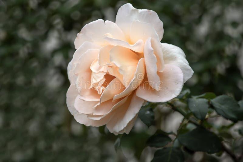 Голова сливк подняла цветок с падениями росы на лепестках стоковое фото rf