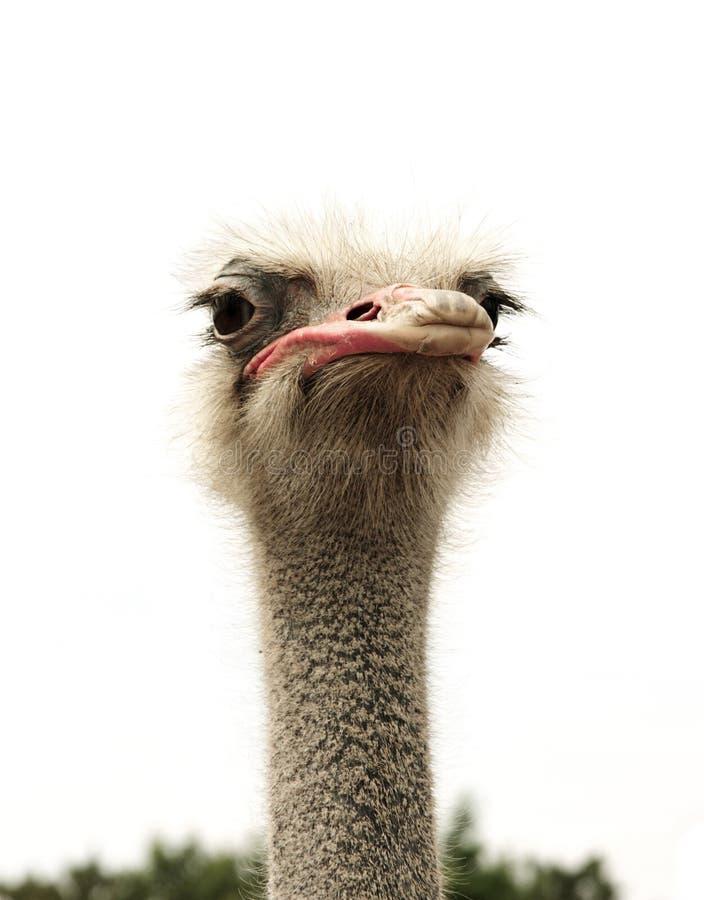 Голова страуса изолированная на белизне стоковое изображение rf