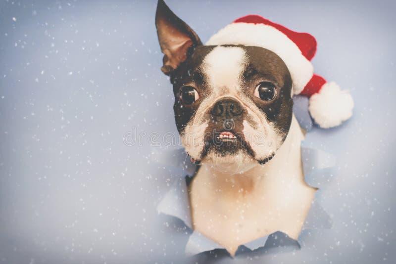 Голова терьера Бостон породы собаки смотрит через отверстие голубой бумаги стоковые фотографии rf