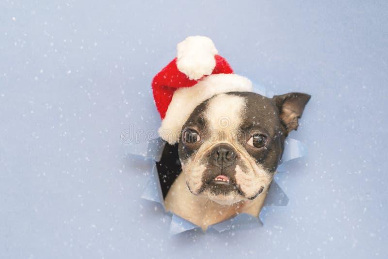 Голова терьера Бостон породы собаки смотрит через отверстие голубой бумаги стоковое фото