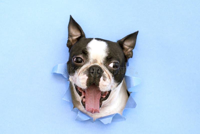 Голова терьера Бостон породы собаки peeking вне через отверстие в голубой бумаге r minimalism стоковое изображение