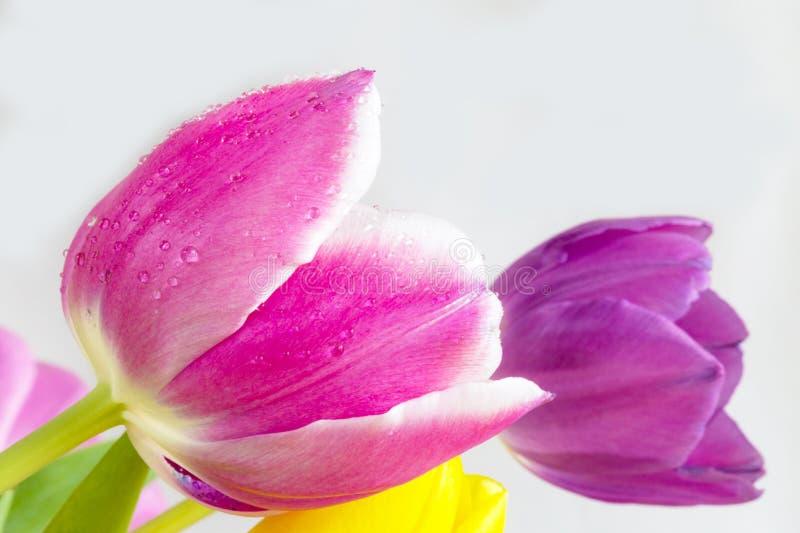 Голова тюльпанов цветет на белой предпосылке 1 стоковые изображения rf