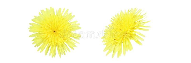 Голова цветка одуванчика в белой предпосылке стоковые фотографии rf