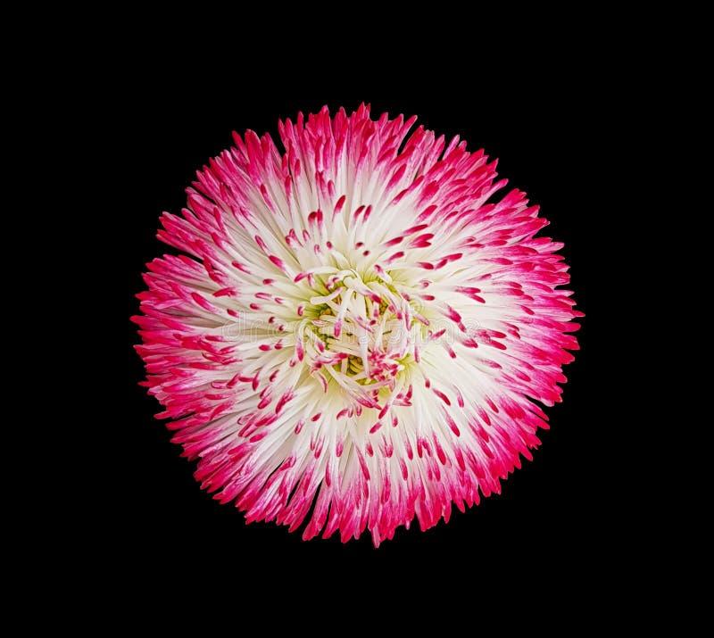 Голова цветка хризантемы цветка на черной предпосылке стоковая фотография