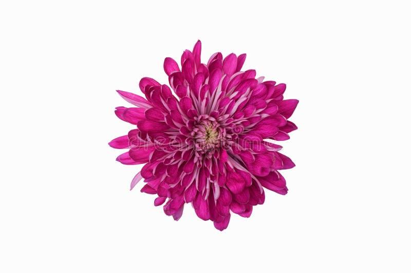 Голова цветка хризантемы стоковое фото