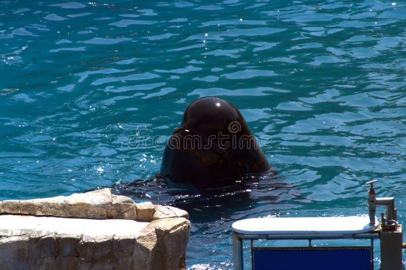 Голова черного дельфина стоковое фото rf